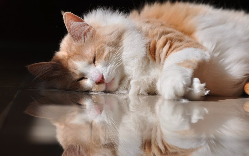angora-turco-durmiendo